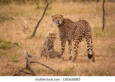 Cheetah and cub watching over scrub hare