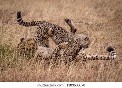Cheetah and cub wrestling in long grass