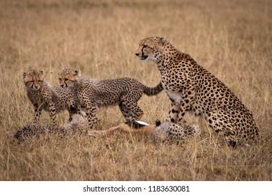 Cheetah and cubs eating dead Thomson gazelle