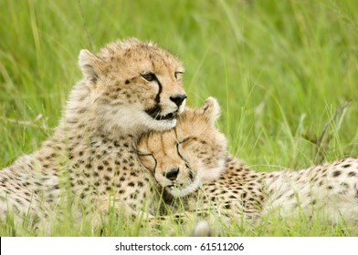cheetah cubs huddled up together one sleeping while the other stays alert in Kenya's Masai Mara