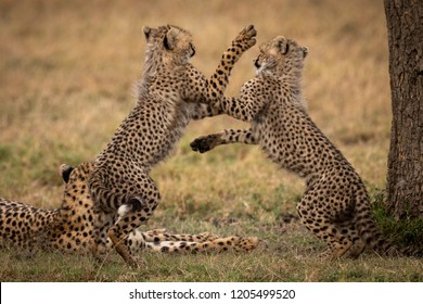 Cheetah cubs play fight on hind legs