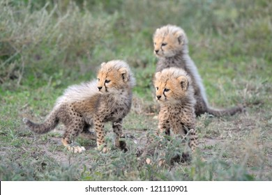 Cheetah cubs at Serengeti National Park in Tanzania