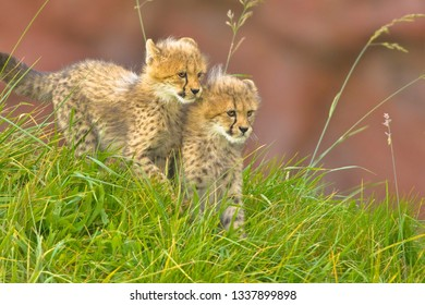 Cheetah cubs side by side. Focus on left cub.