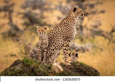 Cheetah and cubs sit on grassy mound