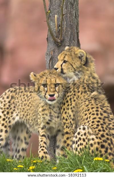 Cheetah cubs teenagers