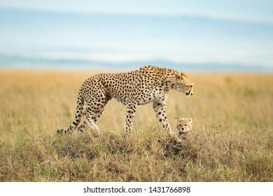 Cheetah and cute cub in Masai Mara National Reserve