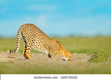 Cheetah drinking water on road. Cheetah in grass, blue sky with clouds. Spotted wild cat in nature habitat. Wildlife scene from nature, Okavango delta, Moremi in Botswana, Africa. Animal behaviour.