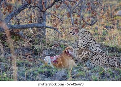 Cheetah eating Puku