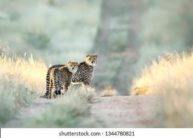 Cheetah In Etosha National Park, Namibia.