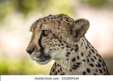 Cheetah from Etosha park in Namibia