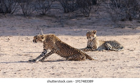 Cheetah ever watchful and on the hunt