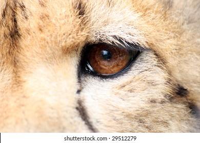 Cheetah - eye detail