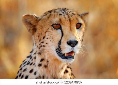 Cheetah face, Acinonyx jubatus, detail close-up portrait of wild cat. Fastest mammal on the land, Etosha NP, Namibia. Wildlife scene from African nature. Beautiful fur coat animal, Africa