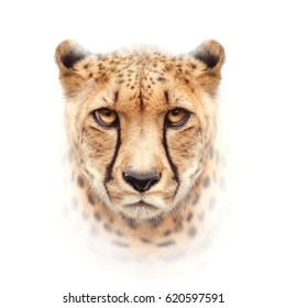 cheetah face isolated on white background