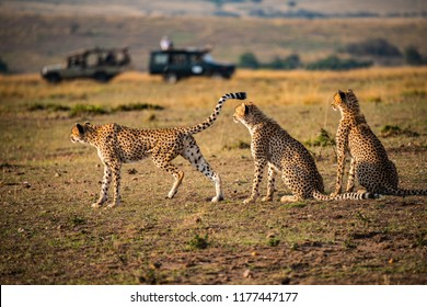 Cheetah family surveying the landscape for prey on the savannah grasslands, oblivious to safari vehicles  in the distance. Maasai Mara, Africa. Mother cheetah and two sons. Acinonyx jubatus.