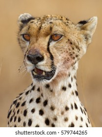 Cheetah female portrait, Serengeti National Park, Tanzania.