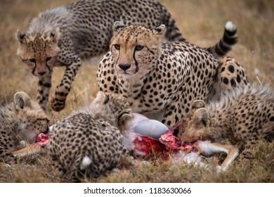 Cheetah and four cubs eat gazelle carcase
