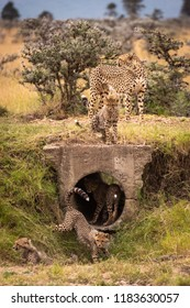Cheetah and four cubs play around pipe