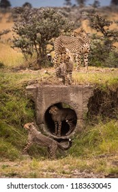 Cheetah and four cubs playing around pipe