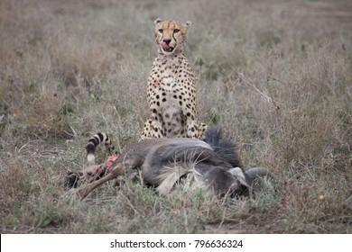 Cheetah with fresh wildebeest kill in Africa