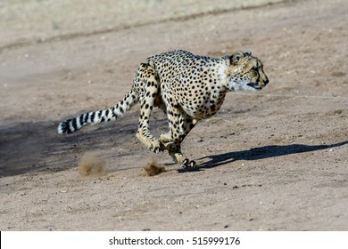 Cheetah at full tilt