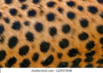 Cheetah fur coat spotted detail.  Acinonyx jubatus, detail close-up portrait of wild cat. Fastest mammal on the land, Nxai Pan National Park, Botswana. Wildlife scene from African nature.