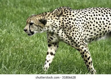 Cheetah getting ready to run