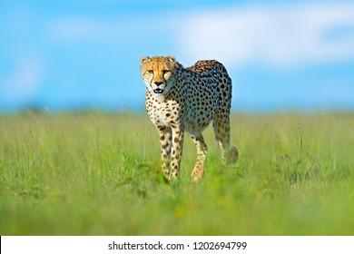 Cheetah in grass, blue sky with clouds. Spotted wild cat in nature habitat. Cheetah, Acinonyx jubatus, walking wild cat. Fastest mammal on the land, Botswana, Africa.  Animal on the safari.