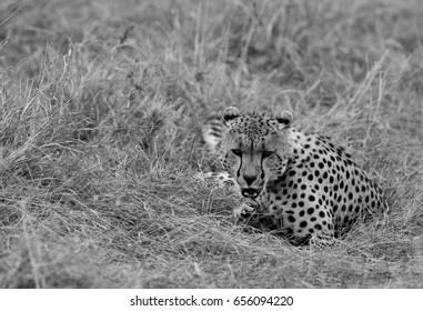 Cheetah in grassland of  Masai Mara