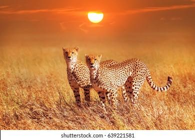 Cheetah group in the Serengeti National Park. Sunset background. Africa. Tanzania.