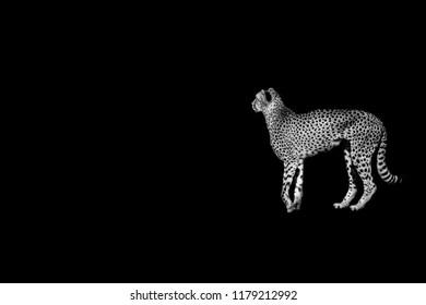 cheetah  head  isolated on black background
