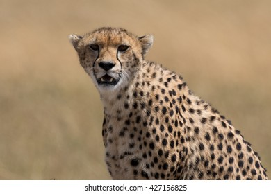Cheetah head shot with golden grassland in the background.  Taken in the Masai Mara Kenya.