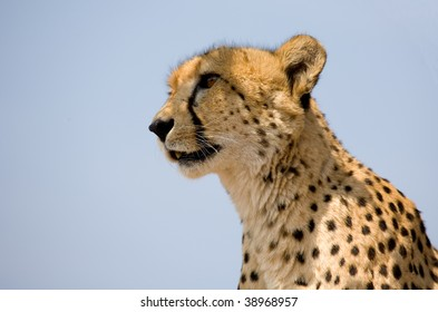 Cheetah head and shoulders against a blue sky