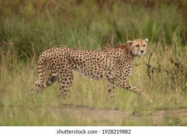 Cheetah hunting in Masai Mara National park, Kenya