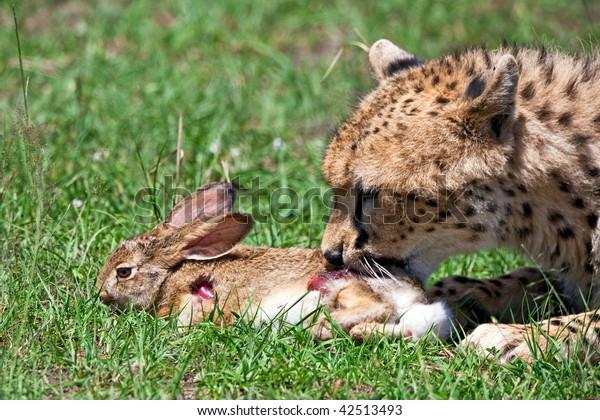 Cheetah hunting for rabbit