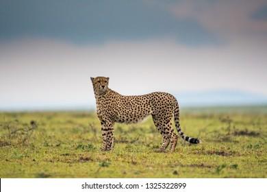 Cheetah hunting in a savannah in Masai Mara Game Reserve, Kenya