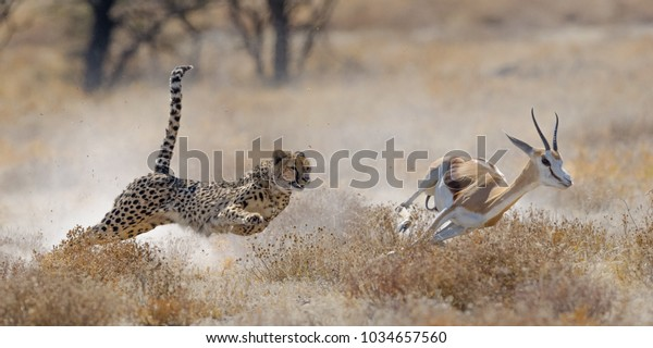 Cheetah hunting springbuck in Etosha National Park