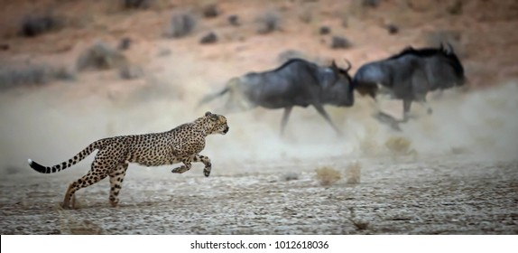 Cheetah hunting wildebeest in the Kgalagadi