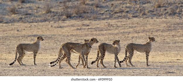 Cheetah, Kalahari Desert, South Africa