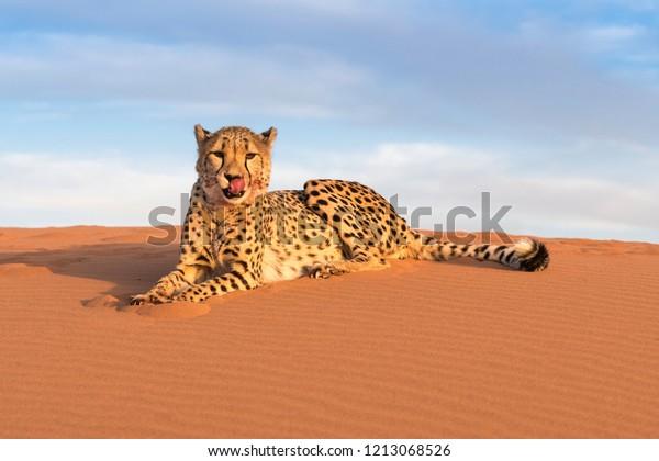 Cheetah in Kanaan N/a'an ku se Desert Retreat Camp