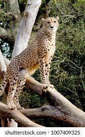 A cheetah keeps standing on a tree trunk and looking for prey