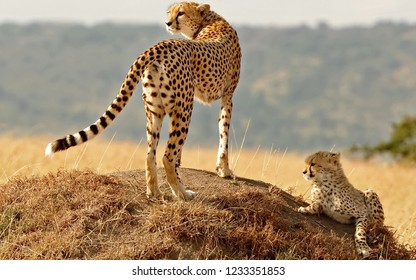 Cheetah with a kitten on a hill