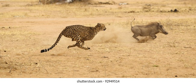 Cheetah in Kruger National Park chasing wart hog at full speed