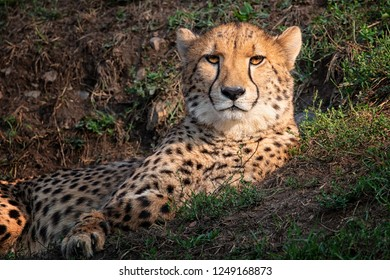 Cheetah lay on the grass and watching