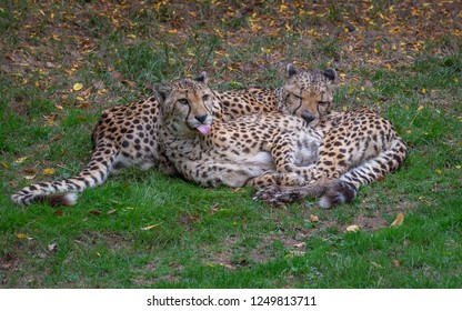 Cheetah laying in the grass