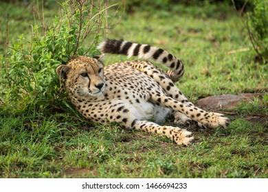Cheetah lies against leafy bush flicking tail