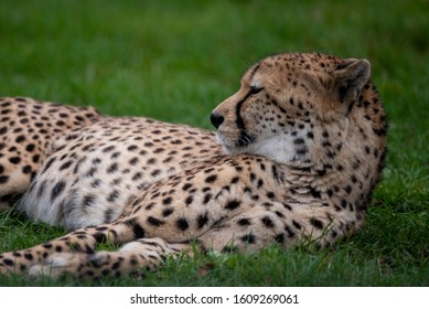 A cheetah lies down for a snooze