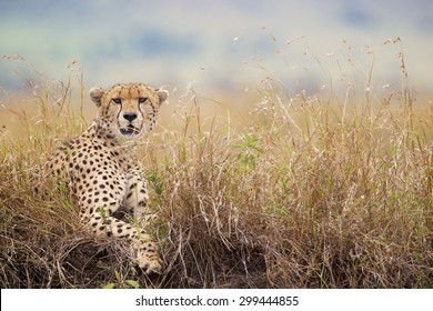 Cheetah in the long grass looking at the camera
