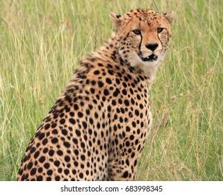 Cheetah is looking around, Kenya
