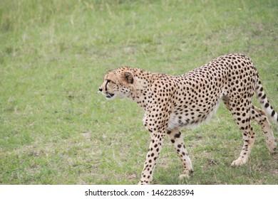 Cheetah looking to hunt in the Masai Mara National Park in Kenya, Africa
